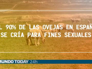 El 90% de las ovejas en España se cría para fines sexuales